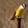 Kiskadee on a hunting perch looking for insects.