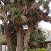 A tree sized yucca. It has drooping white flower clusters.