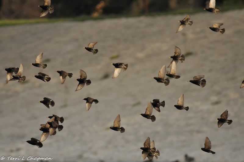 European Starlings taking flight