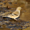 American Goldfinch getting a drink in a stream