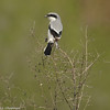 Loggerhead Shrike (aka The Butcher Bird). A bird species that is declining because of human alteration of its habitat.