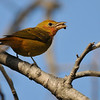 Summer Tanager eating a wasp