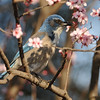Scrub Jay in a blooming Purpleleaf Plum tree