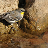 Yellow-rumped Warbler drinking out of a stream