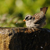 White-crowned Sparrow taking a bath