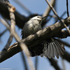 White-breasted Nuthatch stretching