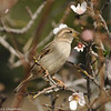 House Sparrow eating Cherry Blossoms