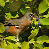 American Robin eating fruit from a Chinese Fringe Tree