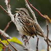 Song Sparrow singing!