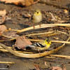 An unusual male American Goldfinch!