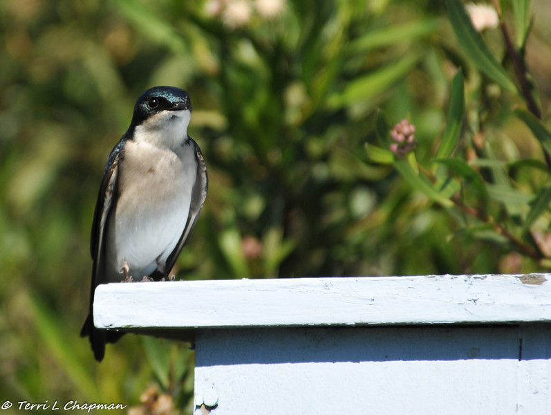 Tree Swallow (male) perched on a nestbox