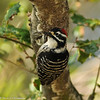 Nuttall's Woodpecker (male) in Oak Tree