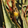 Common Yellow-throat (female)