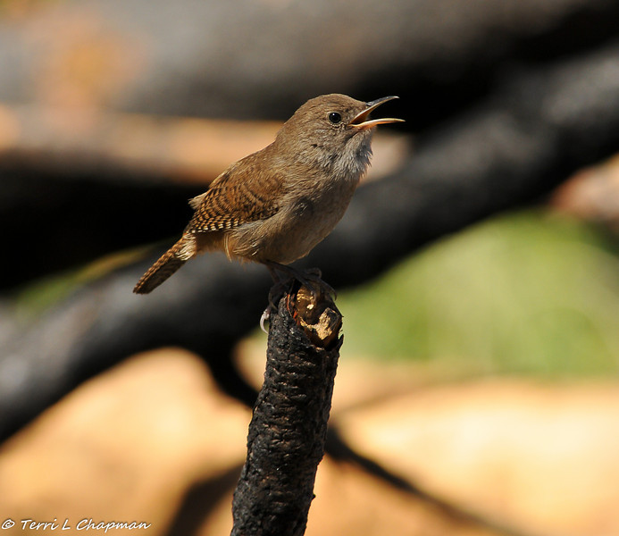 Singing House Wren. This little wren is perched on a burnt tree limb from the Station Fire in the Angeles National Forest.
