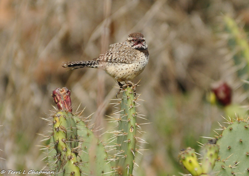 Cactus Wren with a red stained face after eating a cactus bloom pod