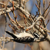 Downy Woodpecker (female) eating insects (can you see her tongue?)