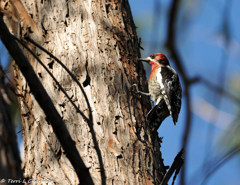 Red-bellied Sapsucker