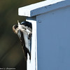 Tree Swallows building a nest