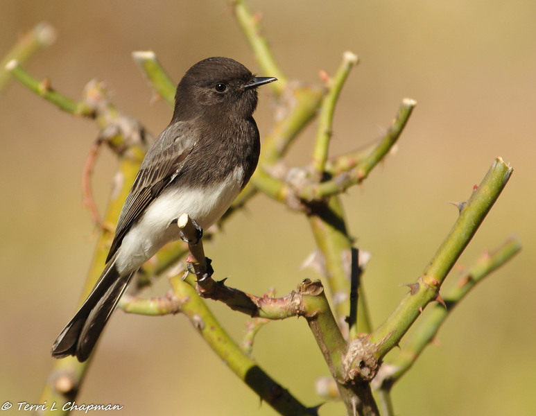 Black phoebe perched on a pruned rose bush