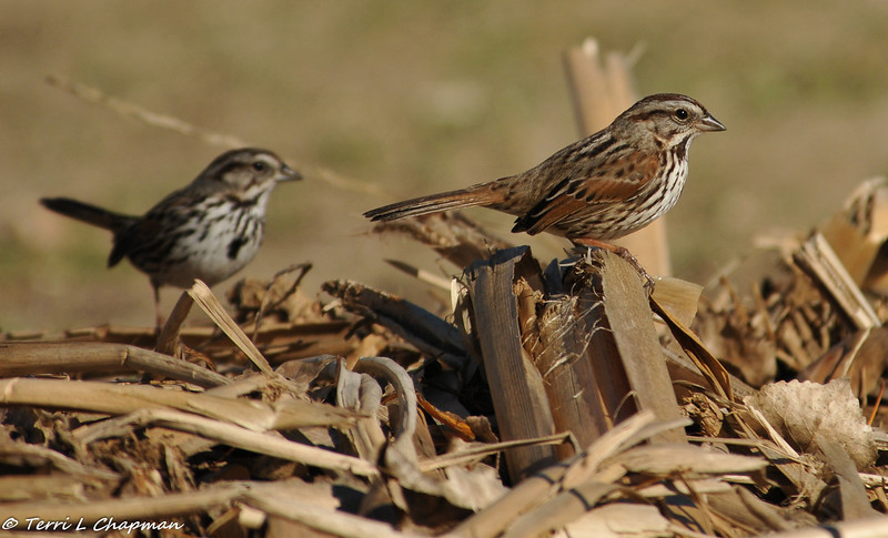 Courting Song Sparrows (the male is in the background)