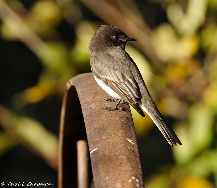 Black Phoebe perched on a wagon wheel