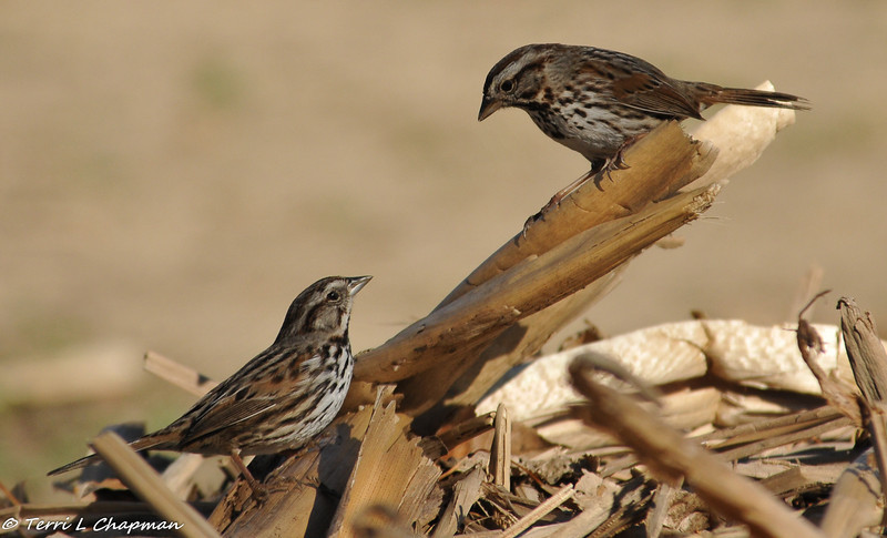 Song Sparrows in courtship