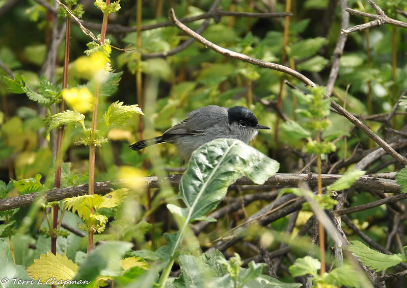 A California Gnatcatcher (male) -  the gnatcatcher was listed as threatened under the Endangered Species Act