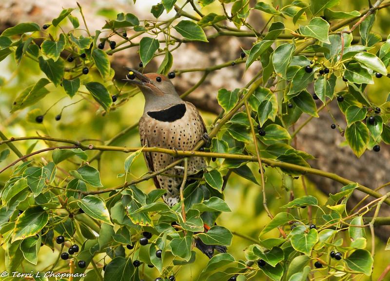 Northern Flicker eating berries in a Camphor Tree