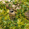 Northern Flicker eating berries in a Camphor Tree