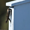 Tree Swallow (female) at nest box