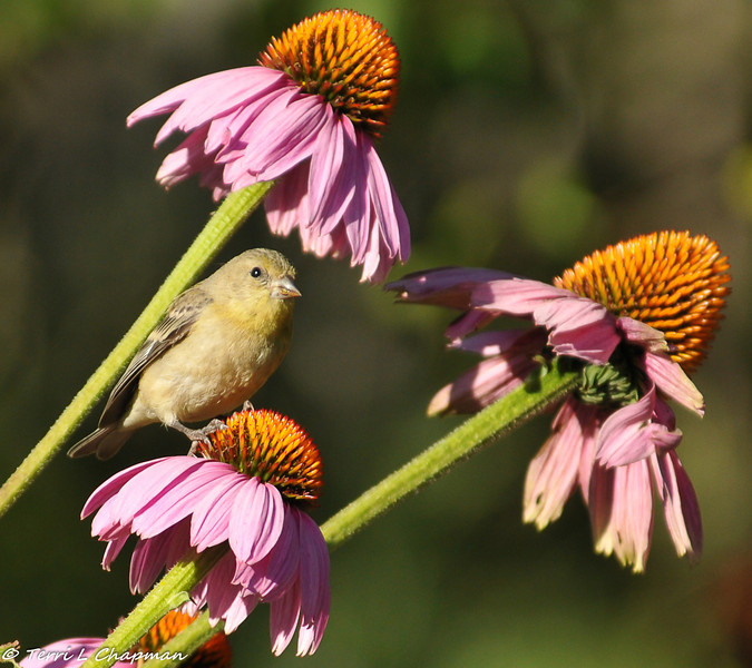 Lesser Goldfinch on coneflower