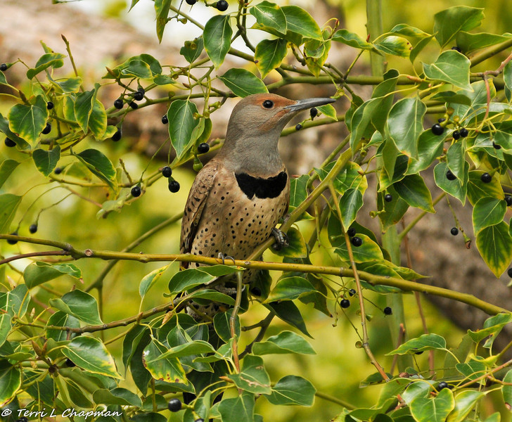 Northern Flicker in a Camphor Tree