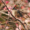 White-crowned Sparrow in a flowering Crabapple tree