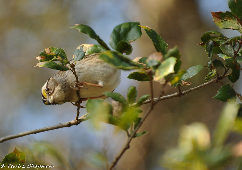 A White-throated Sparrow looking for bugs under the leaves in an Oak tree