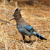 Screaming Steller's Jay