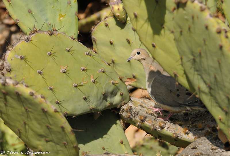 A Mourning Dove resting in the shade of a cactus cavity