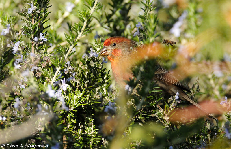House Finch in a rosemary bush (with a bee flying by!)