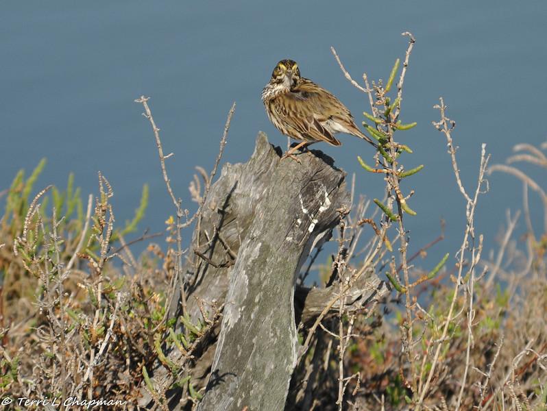 Belding's Savannah Sparrow  or Savannah Sparrow?