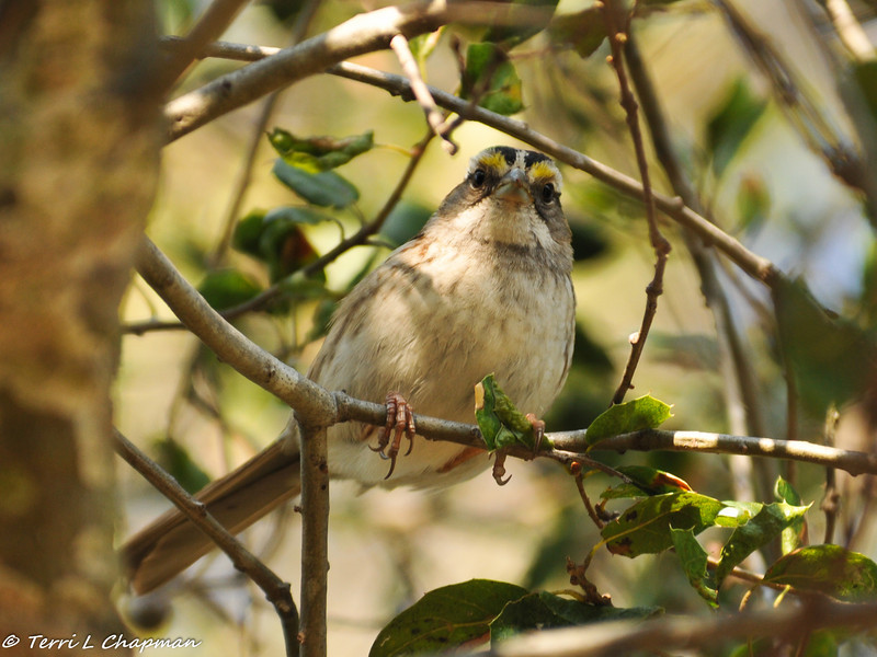 A White-throated Sparrow in an Oak tree. This bird is common in the East, so it is a treat to find one in Southern California!