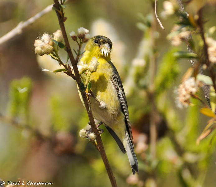 Lesser Goldfinch (male) enjoying the seeds