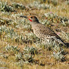 Northern Flicker searching the hillside for insects