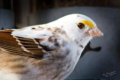 Very rare partial albino White-throated Sparrow.