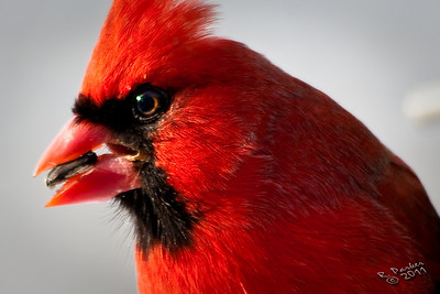 A Cardinal lunching on a sunflower seed.