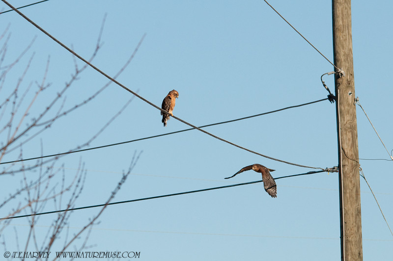 Double-Perched on Wire, One Leaving.