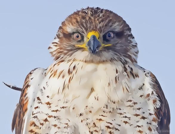 Ferruginous Hawk ~ in snow