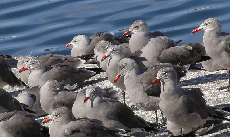 Heermann's Gulls: Westport, WA (8-25-15)