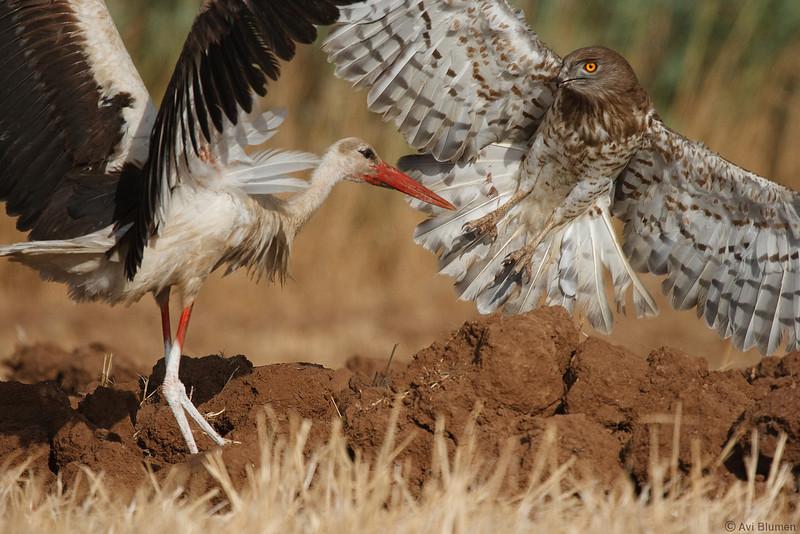 action series:<br /> 14 - But that  white stork like the snake for itself end expels the eagle away<br /> סדרת צילומי אקשן<br /> 14- פתאום מופיעה החסידה הזו שחושקת בנחש ומגרשת את החיוויאי