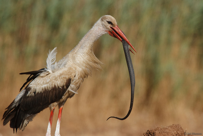 action series:<br /> 18 - The stork continue swallowing the snake<br /> סדרת צילומי אקשן<br /> 18- החסידה ממשיכה לבלוע את הנחש