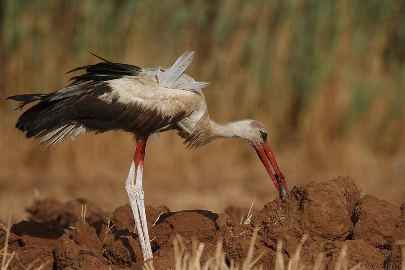 action series:<br /> 15 - The stork picks the half snake from the ground<br /> סדרת צילומי אקשן<br /> 15- החסידה אוספת את שללה מהאדמה