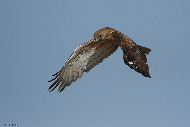 Starting a en action series:<br /> 1 - A Short toed eagle spotting a snake from the air and stars hoovering over it<br /> סדרת צילומי אקשן<br /> 1 - חוויאי מבחין בנחש ומתחיל לרפרף מעליו